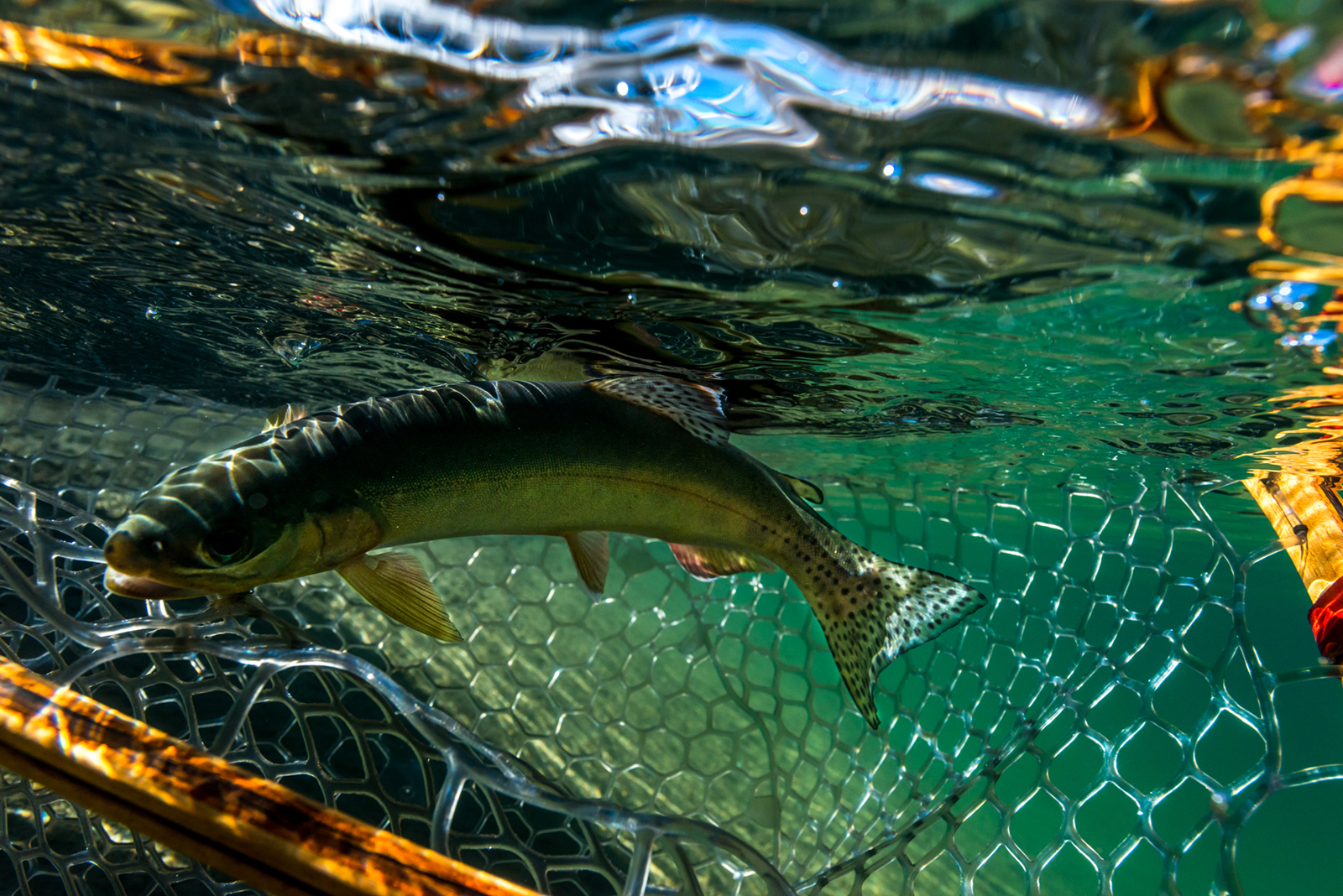 Netting a Golden trout